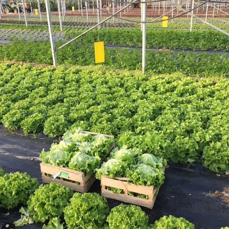Caisse de 12 salades